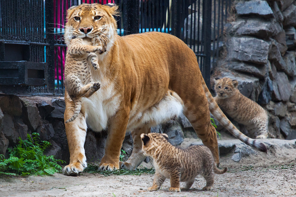 Liger and Liliger | a.lookinphoto | Flickr