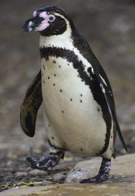 London Zoo, Humboldt Penguins At Penguin Beach | Flickr - Photo ...