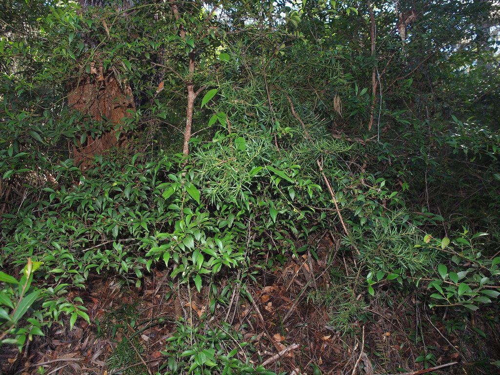 Blackbutt Eucalyptus Pilularis Forest With Developing Rain