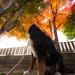 Miruku vs coloured maple leaves