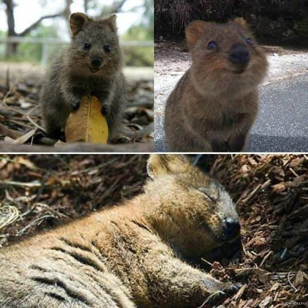 #Quokka- The #happiest animal on Earth! | March 05, 2014 ...  #Quokka- The #h...