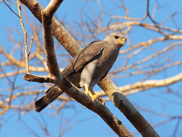 Grey Hawk Flickr Photo Sharing