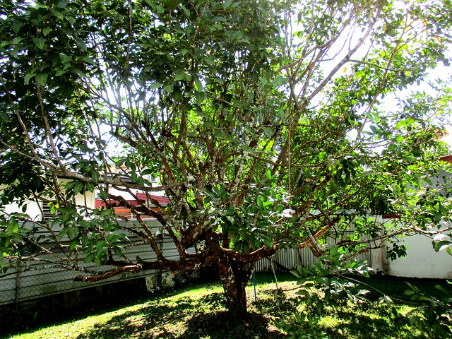 My rambutan tree AFTER