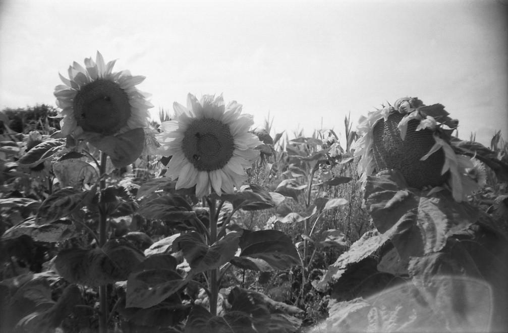 Sunflowers La Sardina Sapphire Serpent 08 2013