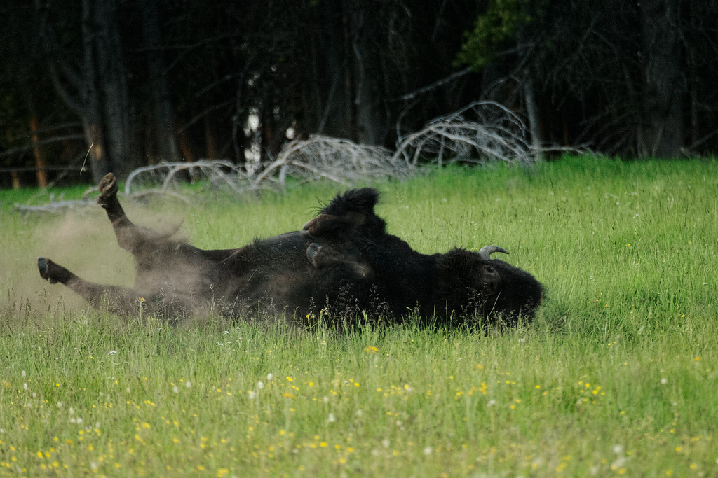 A bison bull takes a dust bath in a wallow