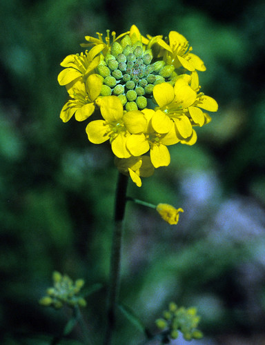 Short's bladderpod | by USFWS/Southeast