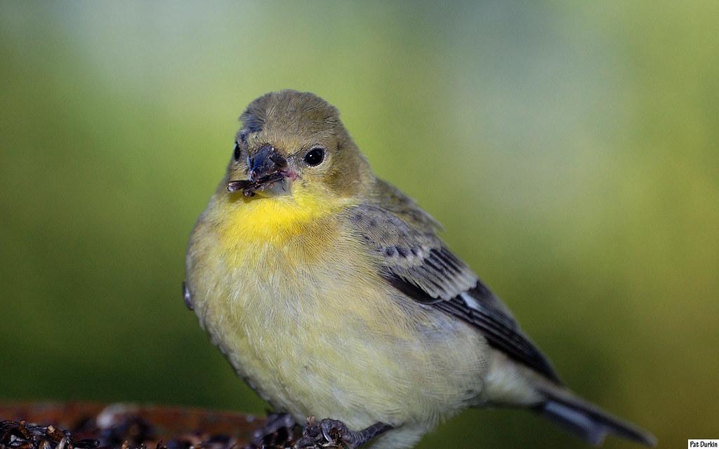 Lesser goldfinch juvenile