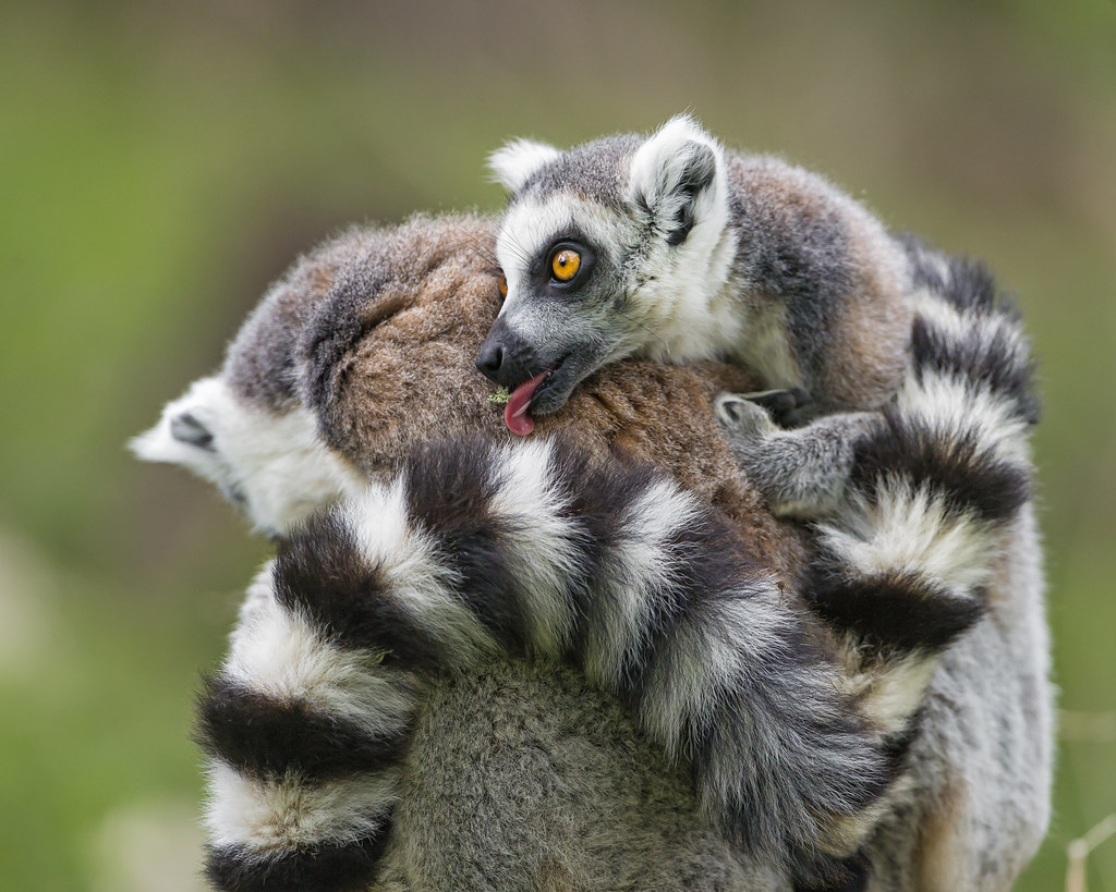 Baby lemur on mom   Cute scene of a baby lemur on his mom ...