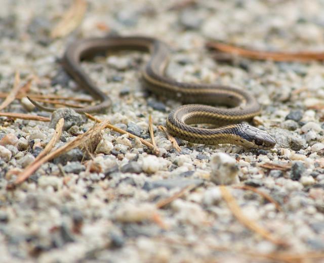 Baby Garter Snake Flickr Photo Sharing