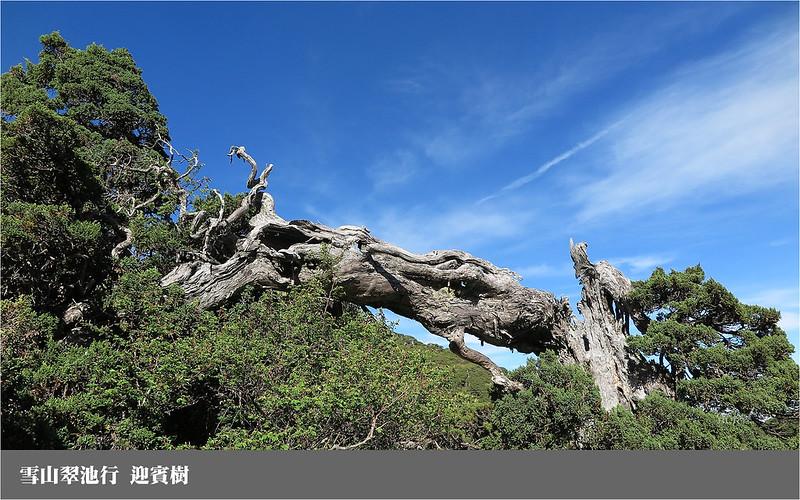 雪山翠池行_迎賓樹