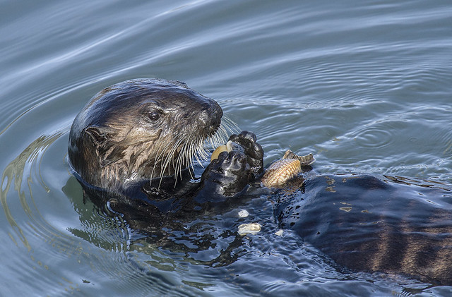 Shedd Aquarium to Reveal Pup 719's Name |Sea Otters Eating Bears
