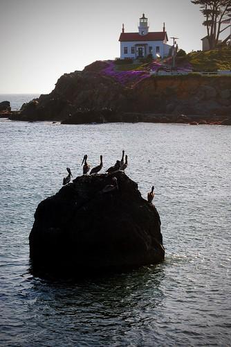 Pelicans on Rock in Battery Point