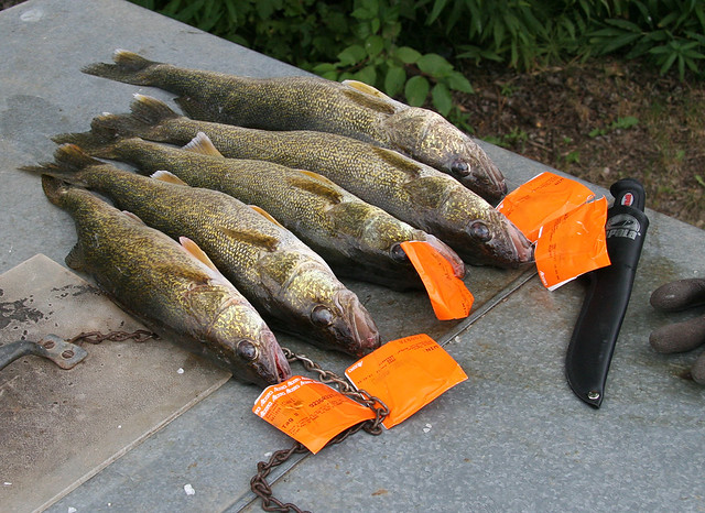 walleye fish with tags