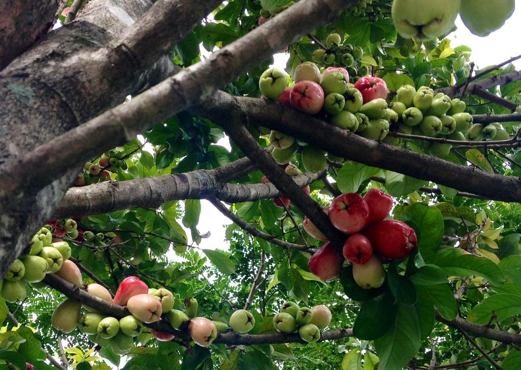 Manzana de Agua tree   Delicious and bountiful fruit of ...