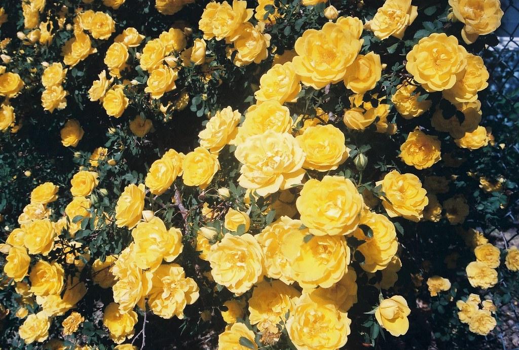 Yellow Rose Bush Yellow Rose Bush