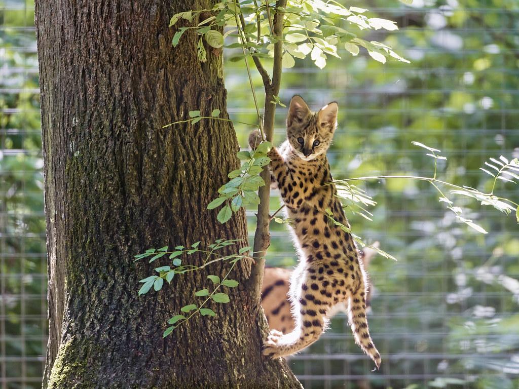 Climbing Serval Kitten Ii Cute Serval Kitten Climbing