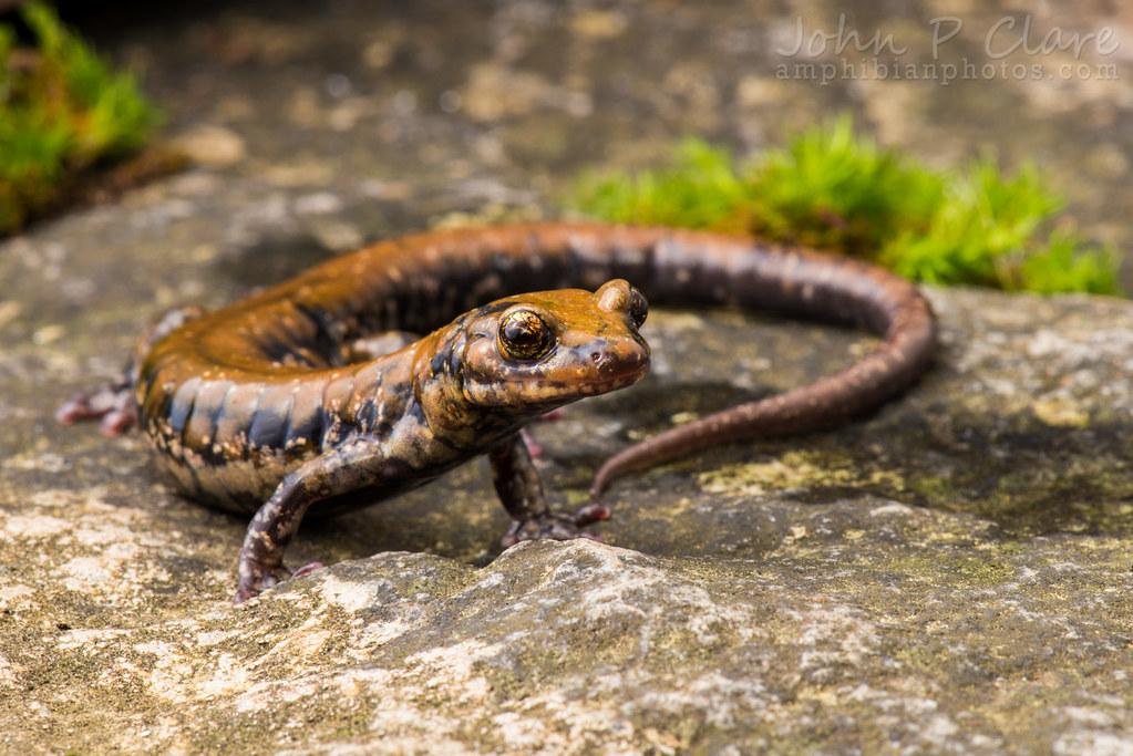 Pigeon Mountain Salamander Pigeon Mountain Salamander