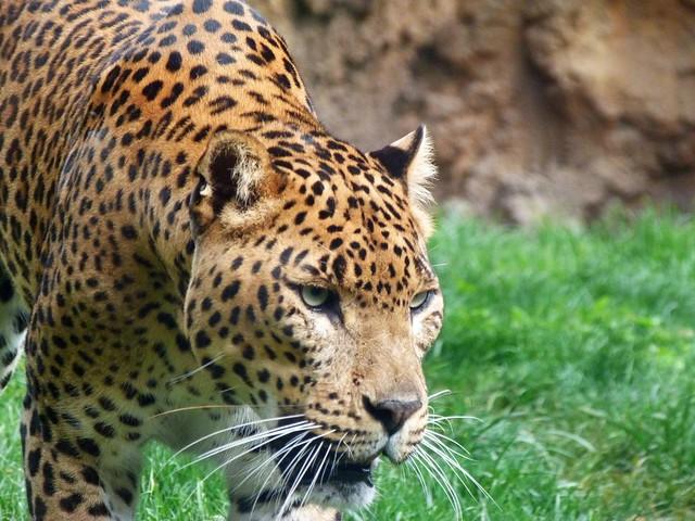 Jaguar (En Cockscomb, Belice, se encuentra la mayor densidad de jaguares del mundo)