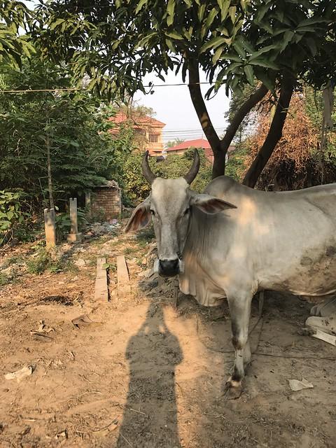 Siem Reap cow
