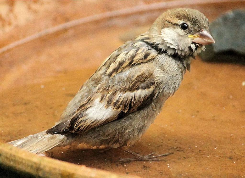how to get rid of english house sparrows