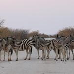 Zebra Crossing!, Near Dolomite Camp, Western Etosha NP, Namibia