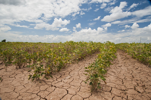 Soybeans in drought conditions