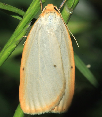 Four Spotted Footman 9489