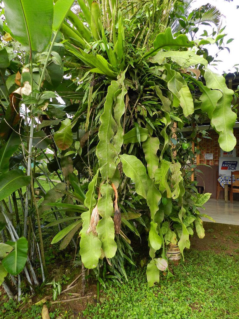 Epiphyllum grandilobum (F.A.C. Weber) Britton & Rose | Flickr