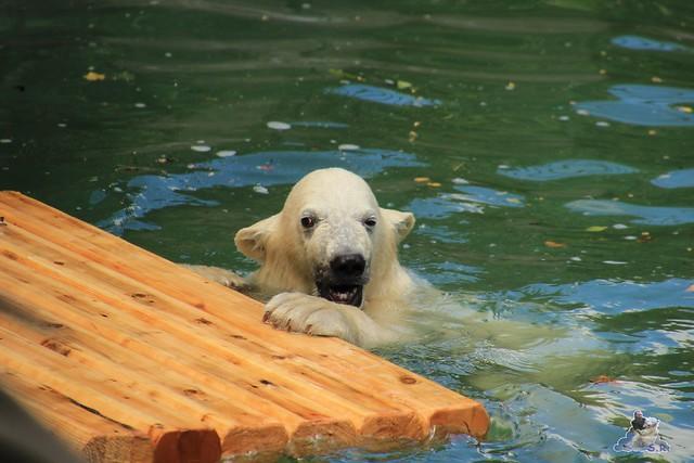 Eisbär Fiete im Zoo Rostock  248