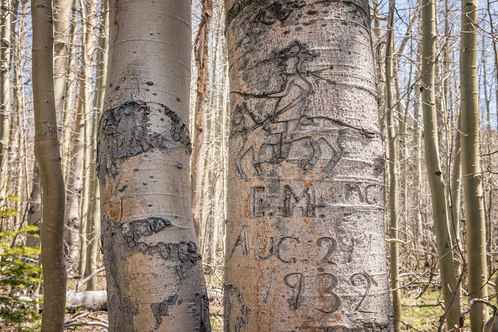 Basque arborglyph carving on the bark of aspen trees has