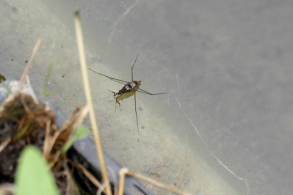 larve de gerris sp punaise d 39 eau aout 2013 mireille muggianu flickr. Black Bedroom Furniture Sets. Home Design Ideas