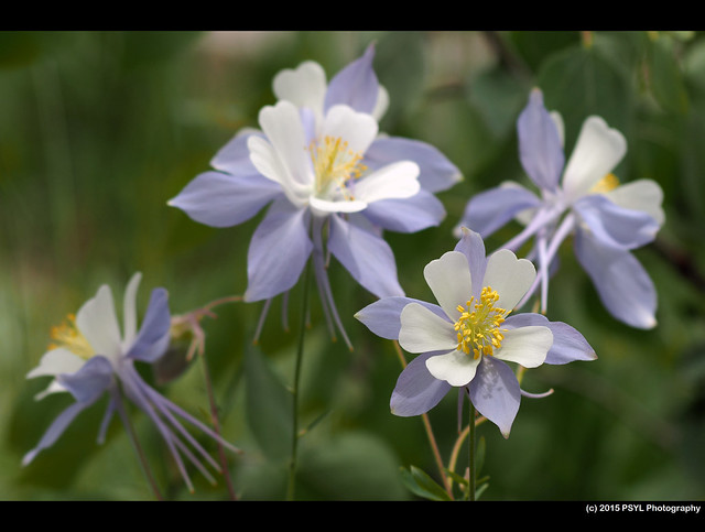 Rocky Mountain Columbine (Aquilegia caerulea)