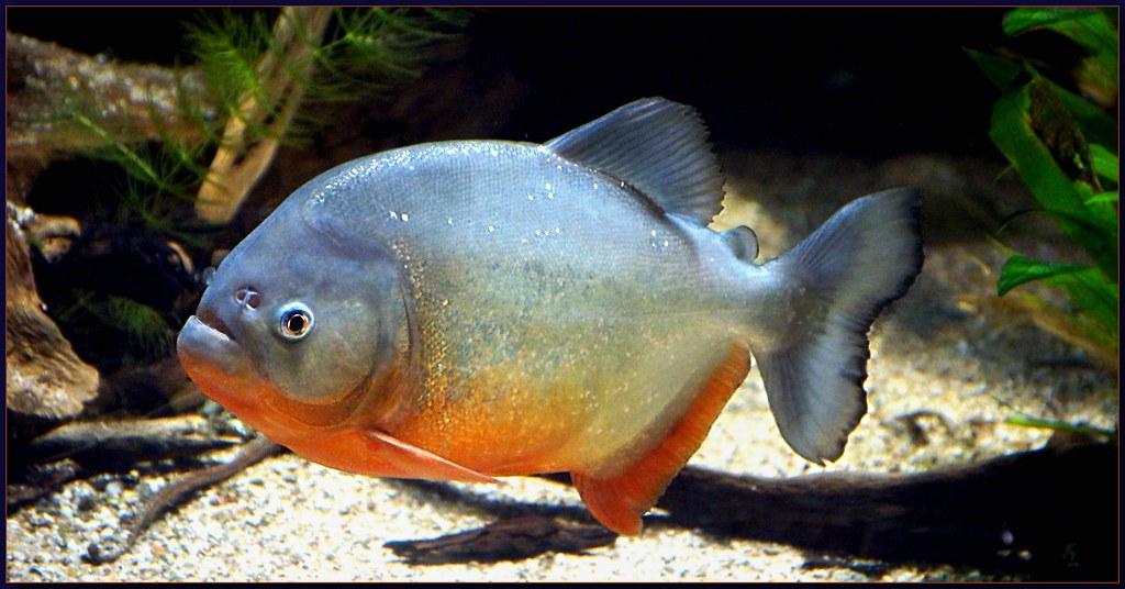 Roter Piranha, Pygocentrus nattereri   Mejxu   Flickr