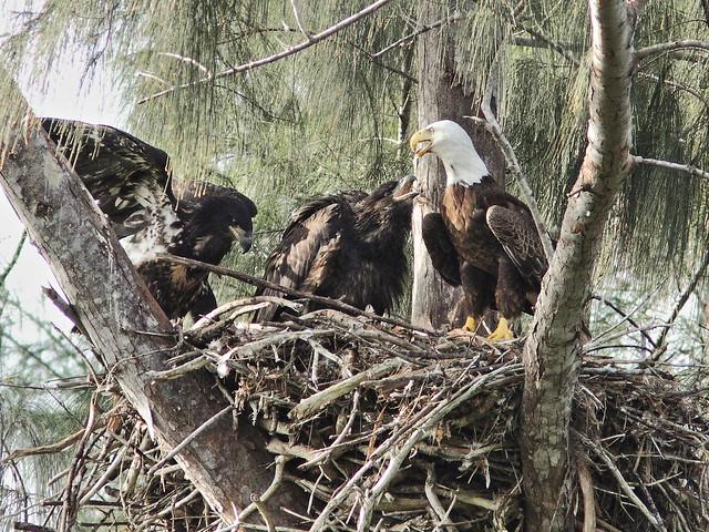 Bald Eaglets begging from male adult Pride 20140330