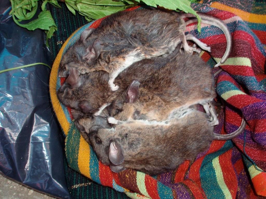 Rats For Sale In Market Ratas De Venta En El Mercado Sa