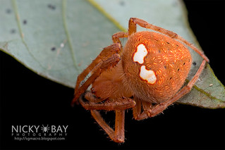 Orb Web Spider (Neoscona sp.) - DSC_2144