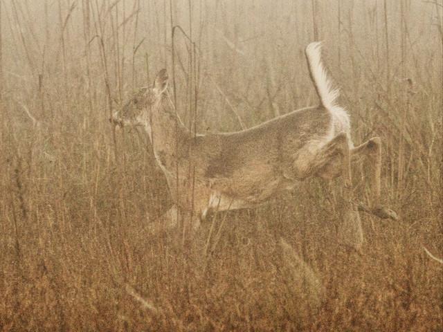 White-tailed Doe in fog 2-20140224