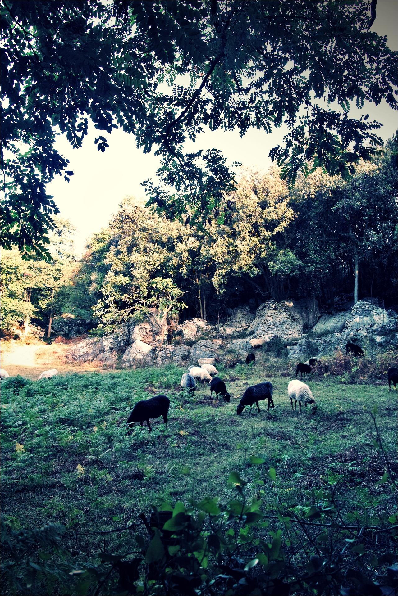 양 떼 -'카미노 데 산티아고 북쪽길. 카스트로 우르디알레스에서 리엔도. (Camino del Norte - Castro Urdiales to Liendo) '