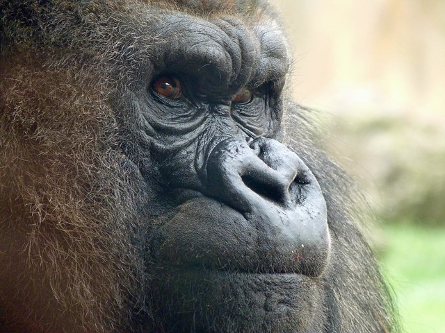 Gorila en Bioparc