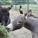 Maverick and Goose - Jordan Estate donkeys
