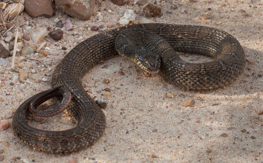 Nerodia erythrogaster transversa (Blotched Water Snake ...