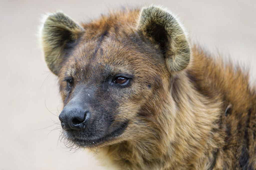 Portrait Of A Spotted Hyena Nothing Really Special But I Flickr
