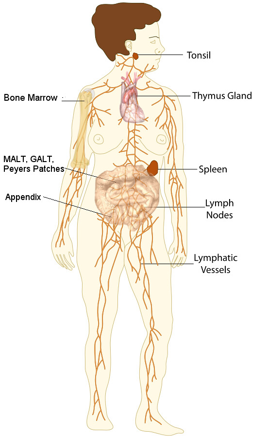 Hermosa Anatomy And Physiology Lymphatic System Quizlet Colección ...