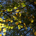 Beech leaves in the autumn at Sharphill