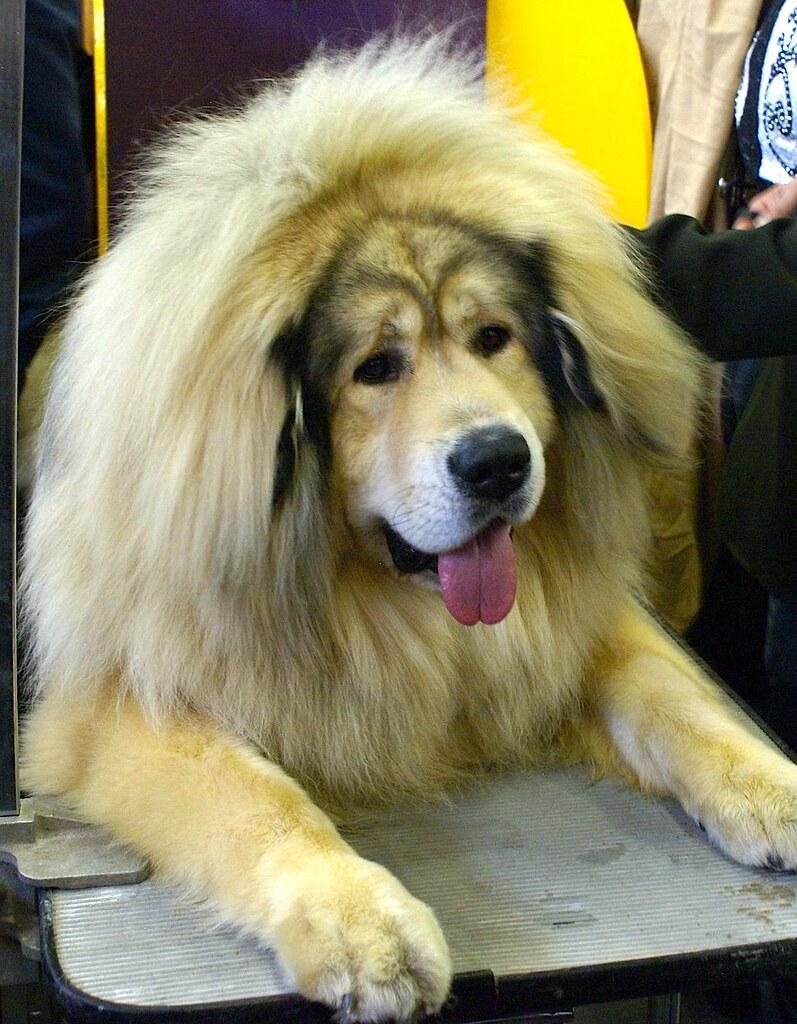 Westminster Dog Show Stud Fee Of Winner