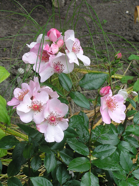 Rosa 'Sweet Pretty'