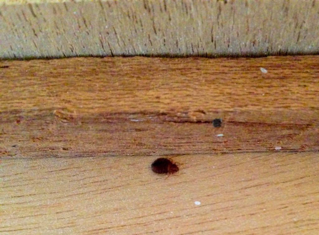 Pregnant Female Bed Bug Hiding Inside A Dresser Look At