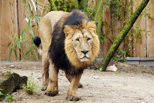 Panthera leo persica - photo#23