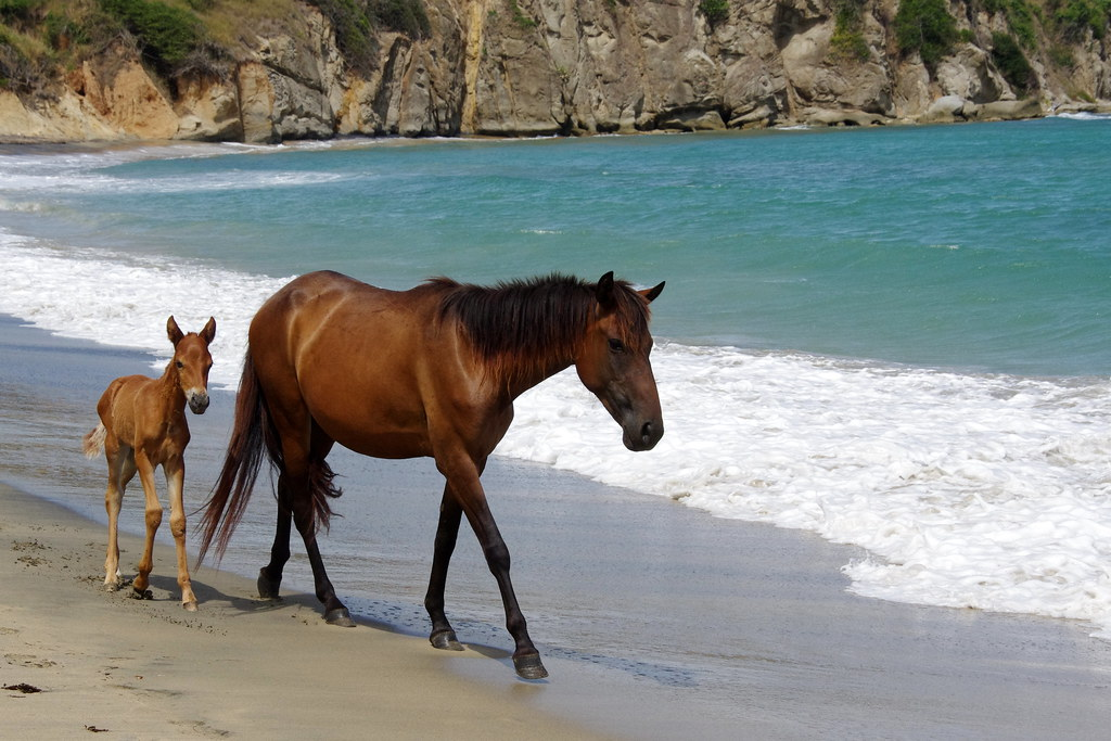 Wild Horses At Playa Negra Black Sand Beach Vieques P