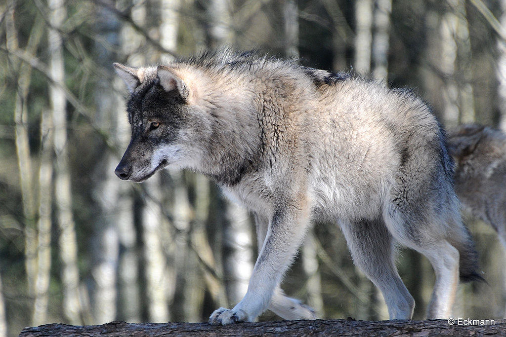 europ u00e4ischer grauwolf  european grey wolf